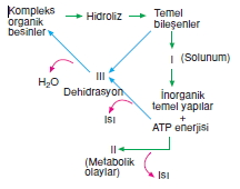 Canlilarintemelbilesimicozumlutest1 (10)