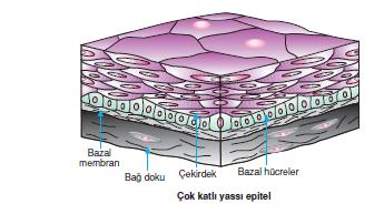 Çok_Katli_Yassi_Epitel