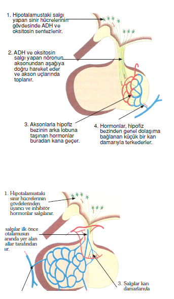 Arka_lop_hormonlari