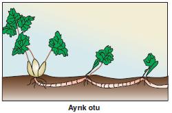 Ayrik_otu