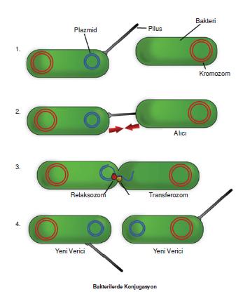 Bakterilerde_Konjugasyon