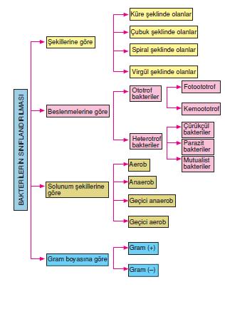_Bakterilerin_Siniflandirilmasi