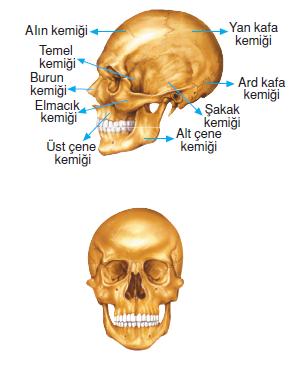 Bas_iskeleti