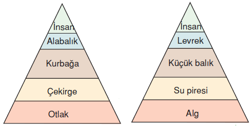 _Besin_Piramidinin_ozellikleri