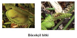 Bocekcil_bitki