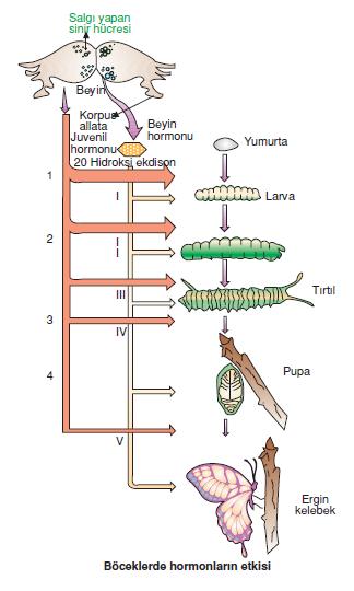 Boceklerde_hormonlarin_etkisi