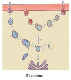 Ekzositoz