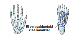 El_ve_ayak_kisa_kemekleri