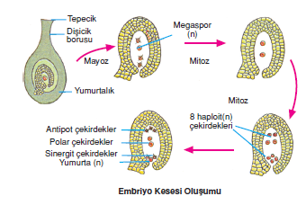 Embriyo_Kesesi_Olusumu