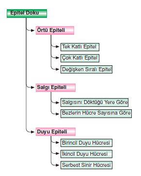 Epitel_doku