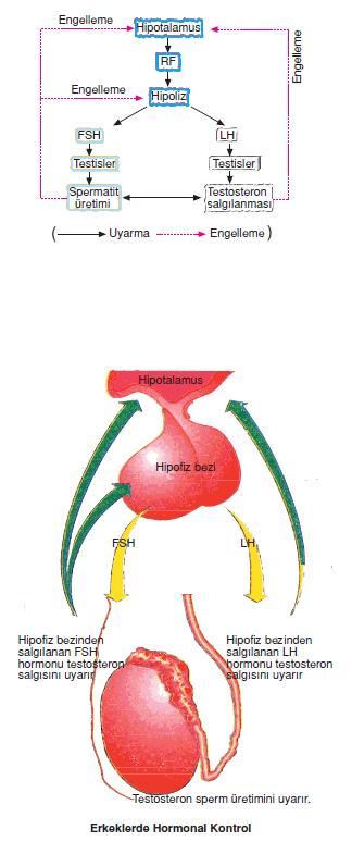 Erkeklerde_Hormonal_Kontrol