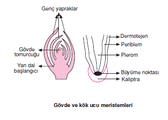 Govde_ve_kok_ucu_meristemleri