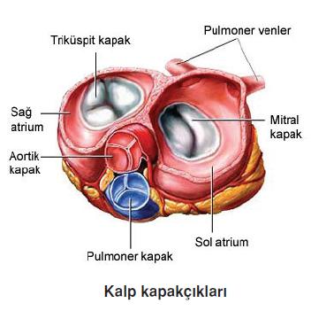 Kalp_kapakciklari