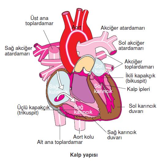 Kalp_yapisi