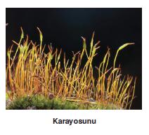 Kara_yosunu