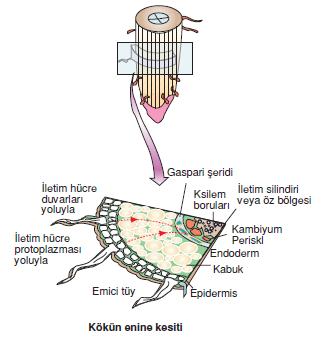 Kokun_enine_kesiti