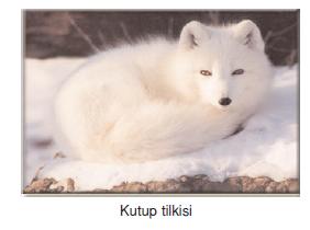 Kutup_tilkisi