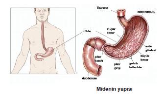 Midenin_yapisi