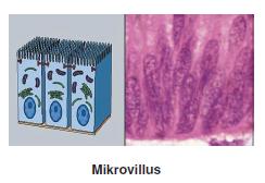 Mikrovillus