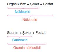Nukleotidlerin_Adlandirilmasi