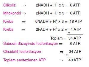 Oksijenli_solunumda_ATP_hesplanmasi