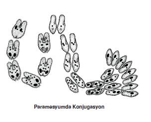 Paramesyumda_Konjugasyon