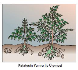 Patatesin_Yumru_ile_uremesi