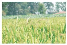 Pirinç_