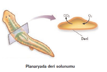 Planaryada_deri_solunumu