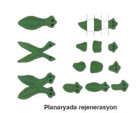 Planaryada_rejenerasyon