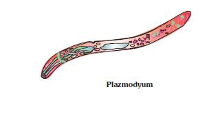 Plazmodyum