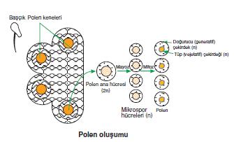 Polen_olusumu