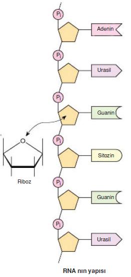 RNA_nin_yapisi