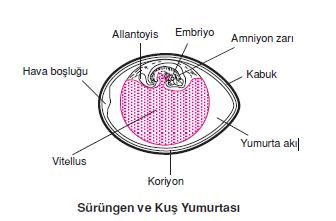 Sürüngen_ve_Kus_Yumurtasi_