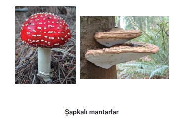 Sapkali_mantarlar