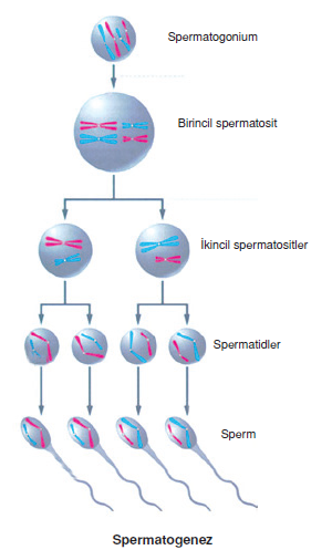 Spermatogenez