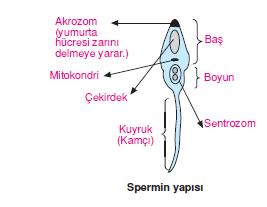 Spermin_yapisi