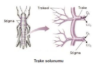 Trake_solunumu