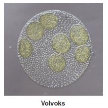 Volvoks