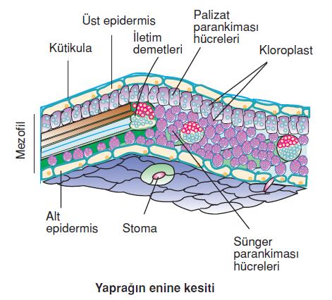 Yapragin_enine_kesiti