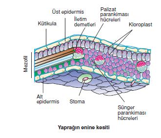 Yapragin_enine_kesiti_001