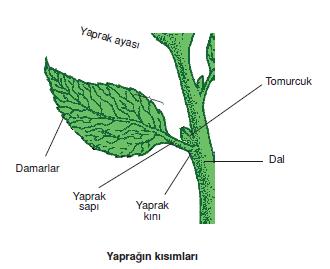 Yapragin_kisimlari