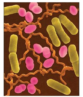 bakteri_sekilleri