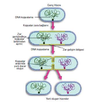 bakterilerde_ureme