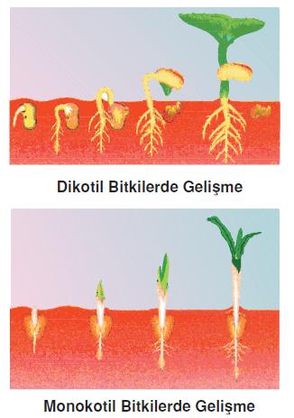 bitkilerde_gelişme