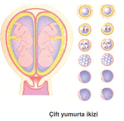 cift_yumurta_ikizi