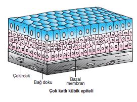cok_Katli_Kübik_Epitel