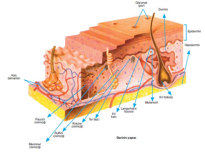 c13b667f3ba41 Derinin en üst kısmında yassı, cansız ve keratin içeren hücrelerden oluşmuş  korun tabakası bulunur. Keratinli hücreler deriyi vurma, ...