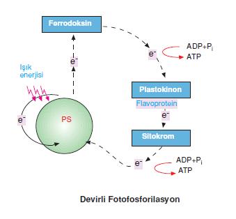 devirli_fosforilasyon