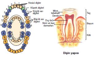 disin_yapisi